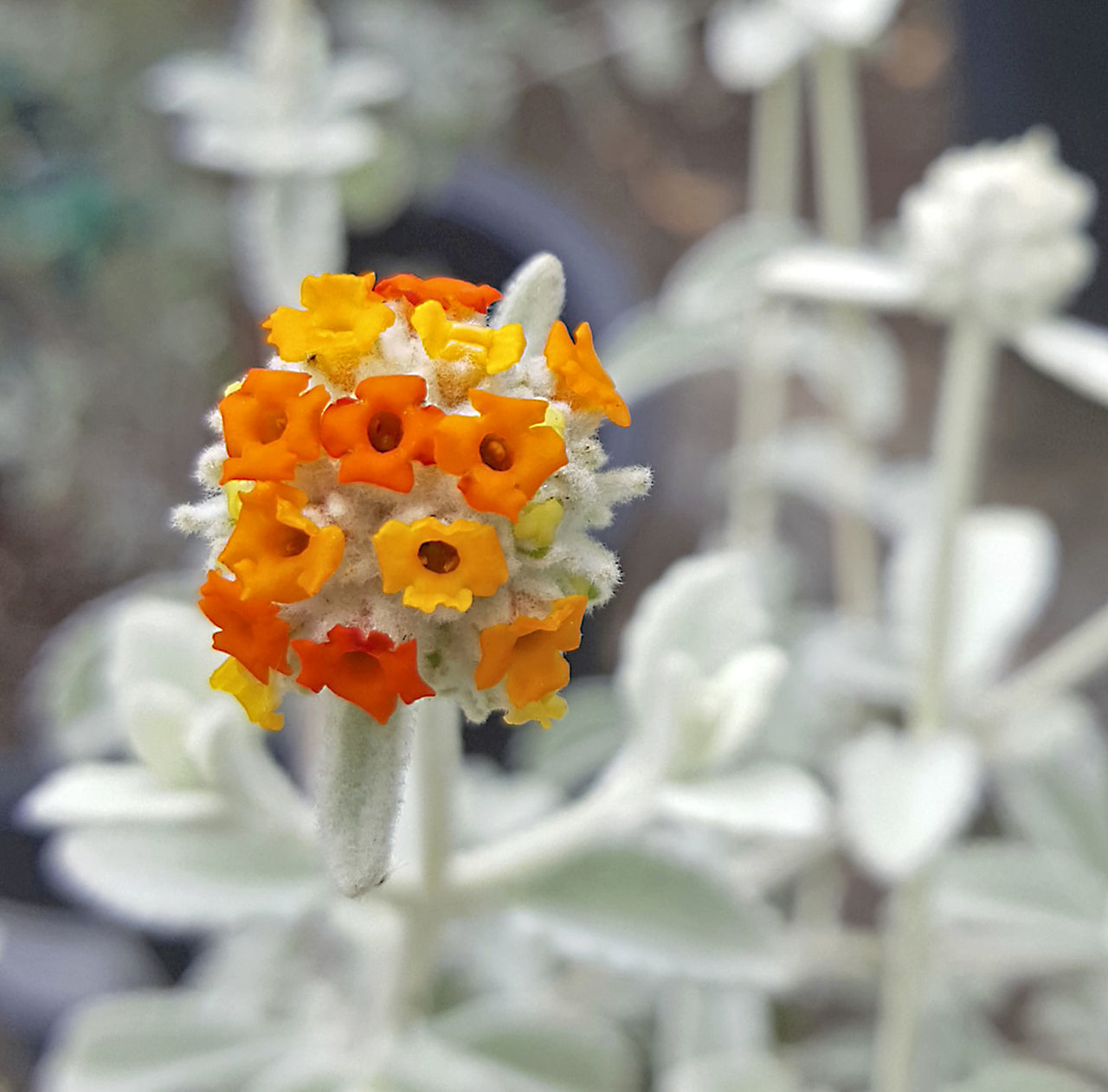 Blooming Buddleia Flower Head Focus On Foreground Gray Background High Contrast Filter Orange Yellow Flower