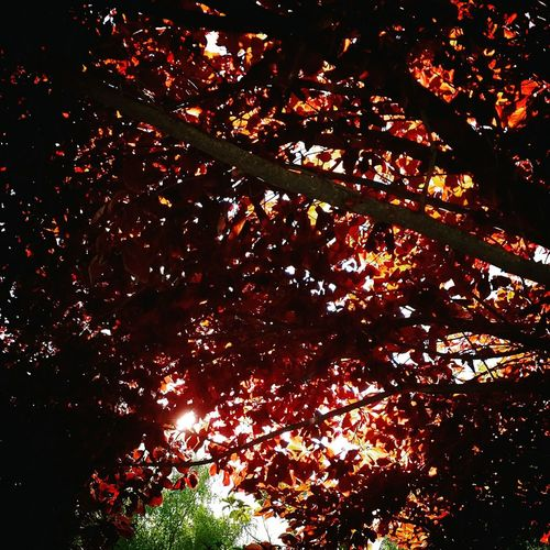 Red Leaves 🍁🍂🍁 Low Angle View Tree Branch Autumn Change Growth Beauty In Nature Scenics Nature Full Frame Day Outdoors Tranquility Red Red Color Majestic Vibrant Color Tranquil Scene No People