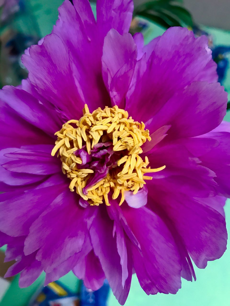 flower, petal, beauty in nature, purple, nature, fragility, flower head, no people, close-up, freshness, growth, plant, outdoors, day, blooming