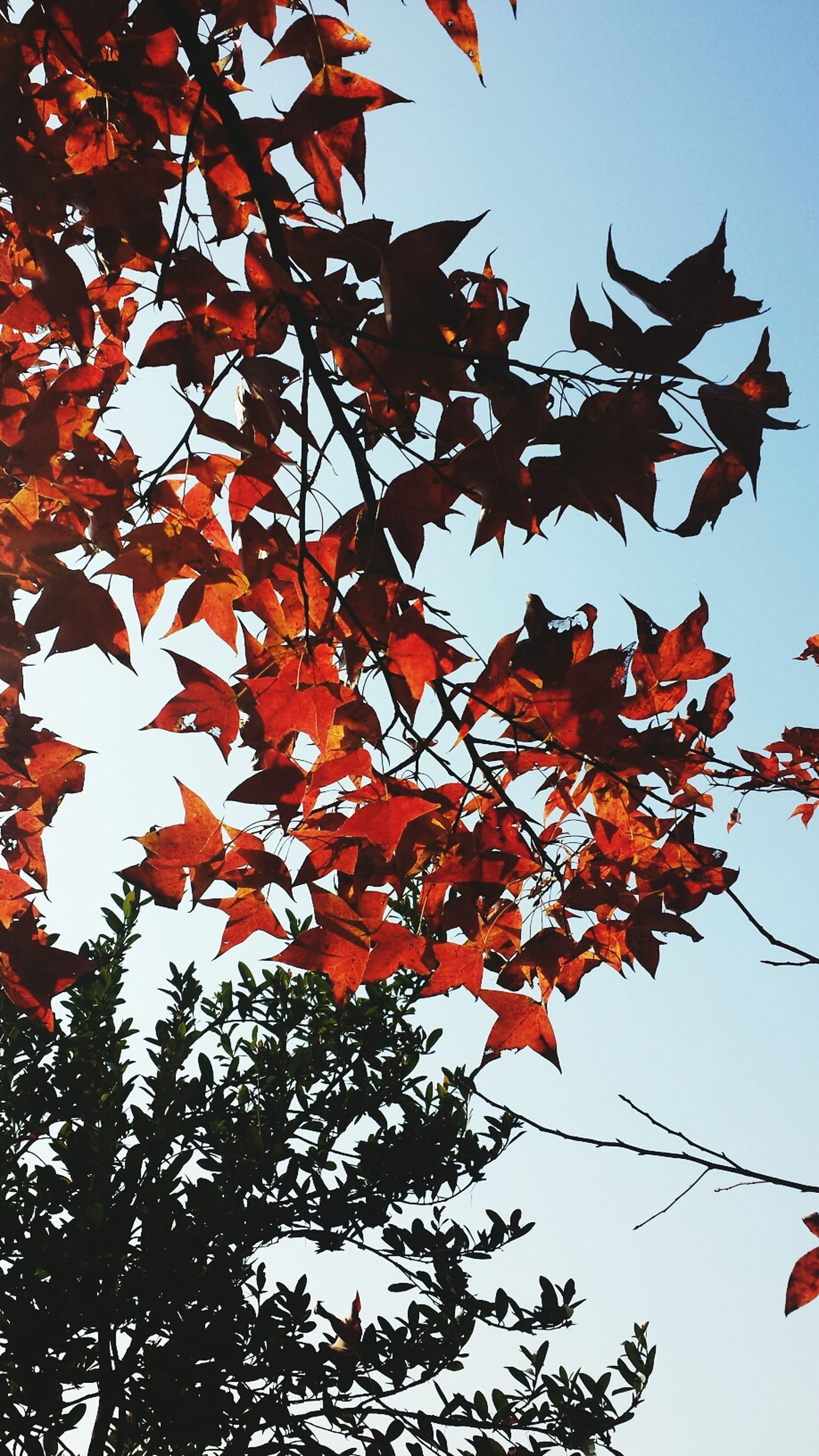 autumn, low angle view, branch, change, tree, leaf, season, clear sky, growth, nature, beauty in nature, sky, red, orange color, maple leaf, leaves, tranquility, maple tree, day, outdoors