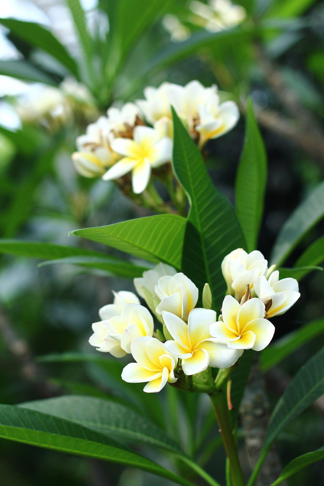 Flower Freshness Beauty In Nature Fragility Flower Head Leaf Growth Yellow Plumeria