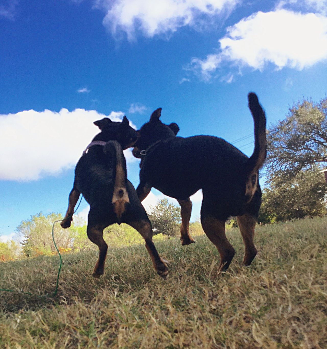 Playful Playfuldogs Animal Themes Two Animals Togetherness Brother & Sister Littermates Bonded Bondedforlife Blue Bluesky♡ Nature Animal Behavior Cloud - Sky Outdoors Devinetexas Simple Things In Life JustBeautiful NaturalBeauty  Ipadair2 Dogsof Eyeem Simple Moment Stop Motion Love Mydogs