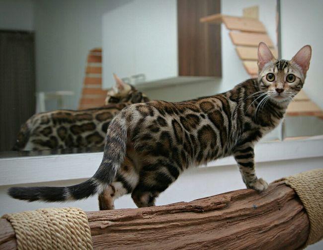Pet Photography  Petstagram EyeEm Indonesia Bengal Cat Cute Pets Pets Meow Animal My Cats Cats