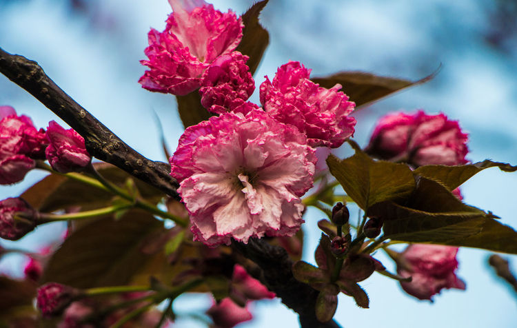 Beauty In Nature Blooming Blossom Close-up Day Flower Flower Head Focus On Foreground Fragility Freshness Glowing Growth Leaves Low Angle View Maroon Nature No People Outdoors Petal Pink Color Plum Blossom Rhododendron Sky Springtime Tree