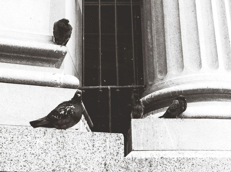 Steps Pidgeons Capa Filter Black & White