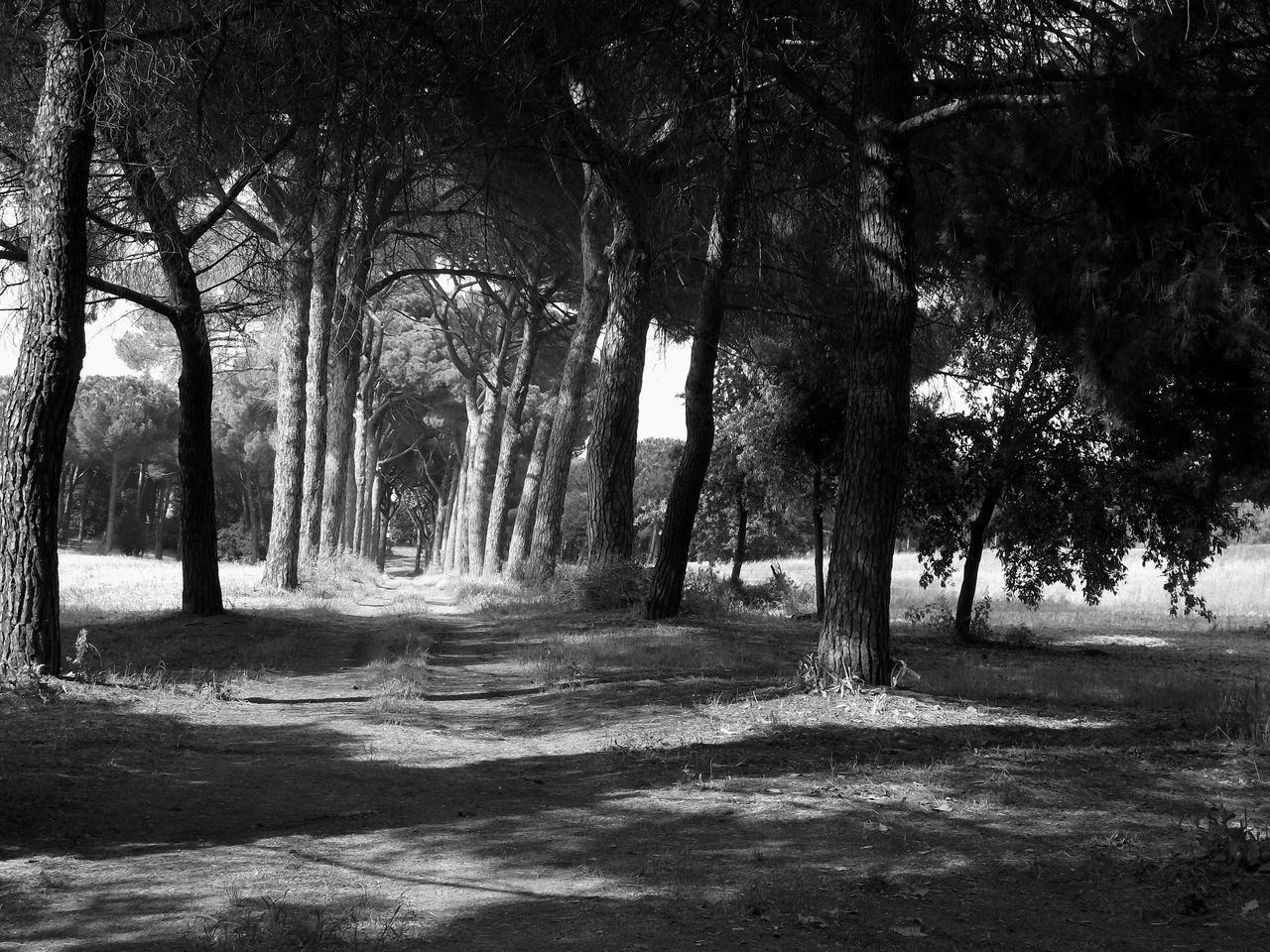 B&W Pine Path Beauty In Nature MUR B&W Mémoires Pine Woodland Pines Pines Forest Pinetrees Roma MUR On EyeEm