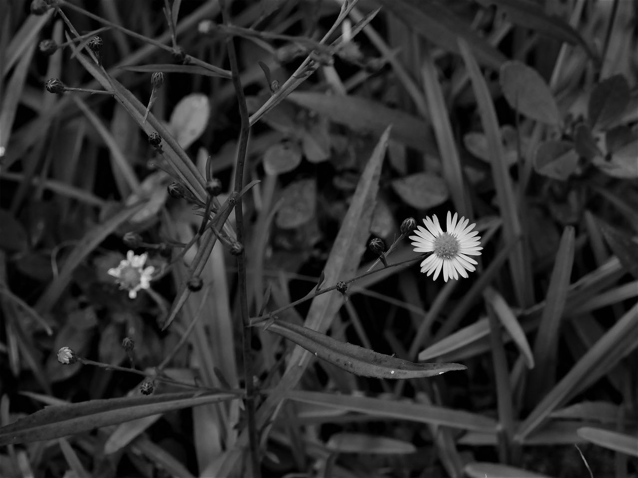 Beauty In Nature Blackandwhite Blooming Close-up Day Flower Flower Head Fragility Freshness Grass Growth High Angle View Monochrome Nature No People Outdoors Petal Plant