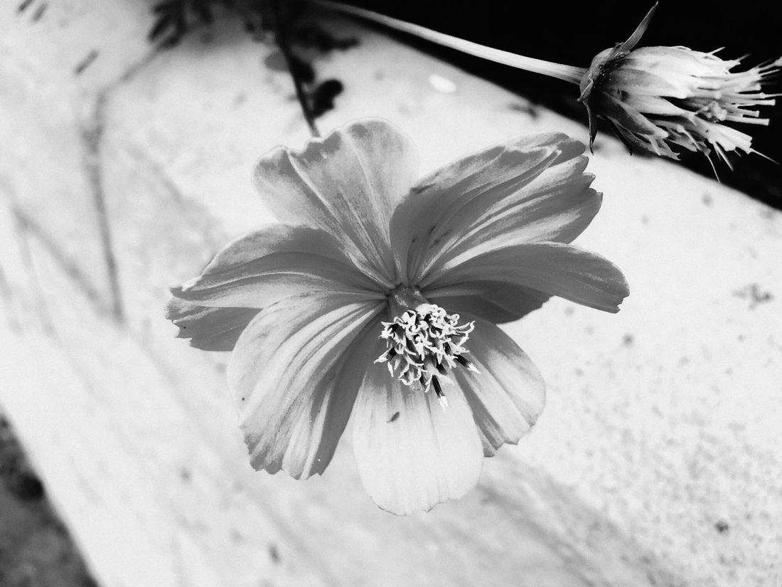 Cosmos flower in black and white Flower Flower Head Petal Fragility Nature Growth Beauty In Nature Close-up Freshness Blooming Pollen Plant No People Day Outdoors Bwn_friday_eyeemchallenge EyeEm Nature Lover EyeEm Selects