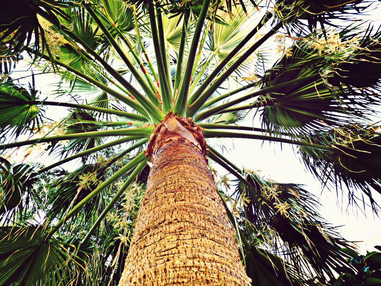 Paradise Palm Geece Beauty