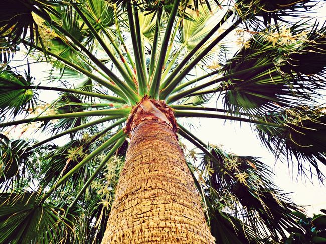 Paradise Palm Geece Beauty