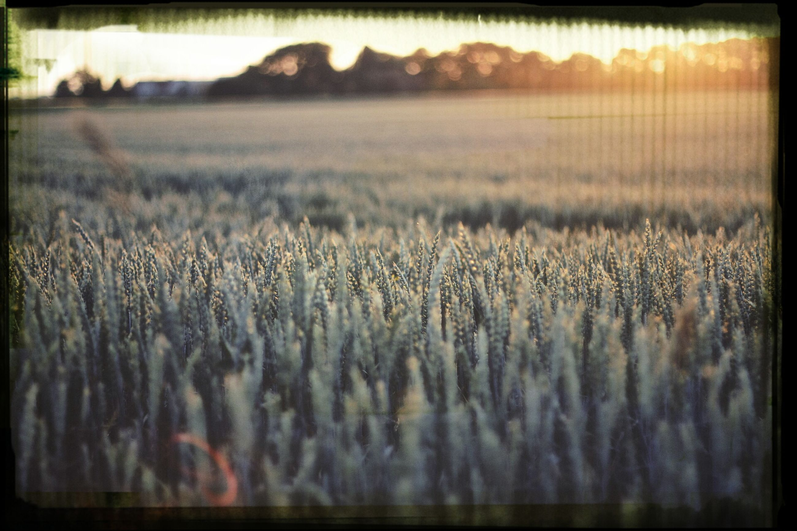 transfer print, field, auto post production filter, landscape, selective focus, rural scene, agriculture, grass, tranquil scene, tranquility, farm, nature, day, surface level, outdoors, sky, growth, scenics, no people, focus on foreground