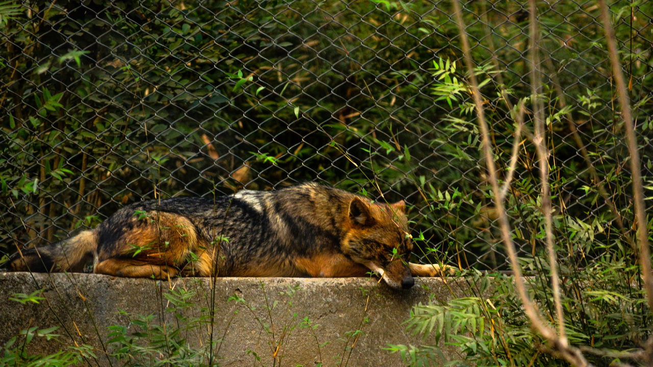 Animal Themes Animal Wildlife Animals In The Wild Assam, India Close-up Day Guwahati Jackal Mammal Nature No People One Animal Outdoors