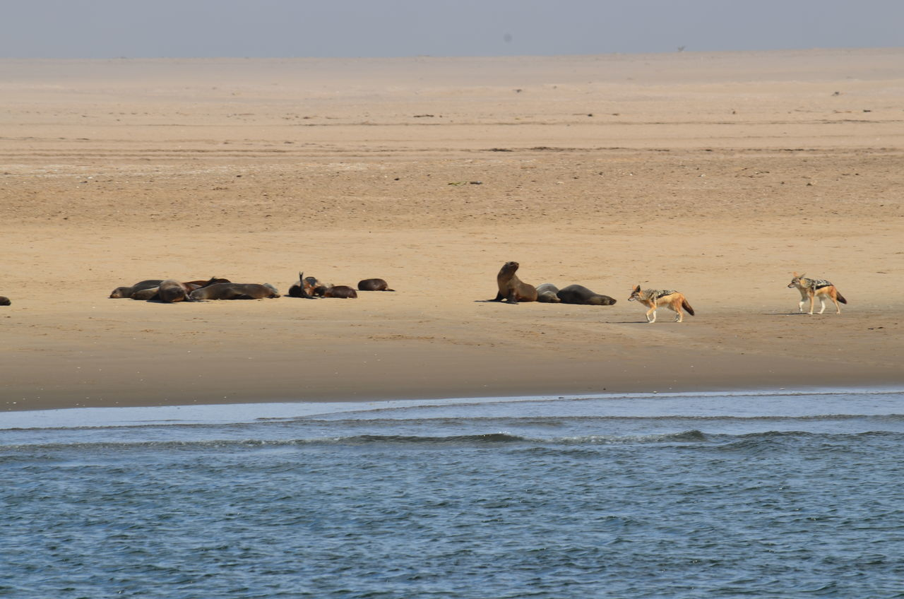 animals in the wild, nature, animal themes, water, animal wildlife, day, no people, outdoors, mammal, scenics, sea, large group of animals, beauty in nature, beach, sky, landscape, togetherness
