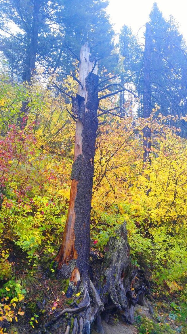 Tree Tree Trunk Growth Forest Tranquil Scene Tranquility Nature Scenics Branch Beauty In Nature Non-urban Scene Green Color Green WoodLand Tall - High Day Outdoors Tall Growing Sky Glacier National Park BigSkyCountry Montanamoment Check This Out