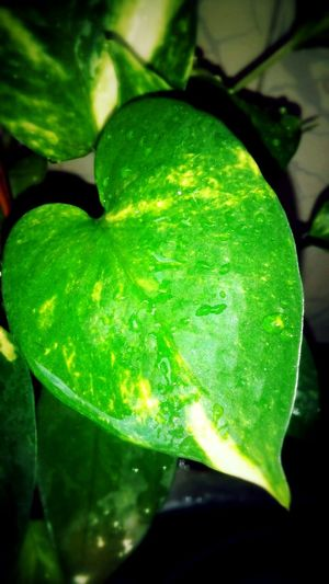 Money Plant Leaf Green Color No People Close-up Single Leaf Greenleaf♡ Water Droplets Water Heart Shapes In Nature FreshnessIndoors  Eyeem Photography Move On Eyeem Eyeemphoto EyeEmNewHere Love Photography PhonePhotography Mobile Photography Pune, India