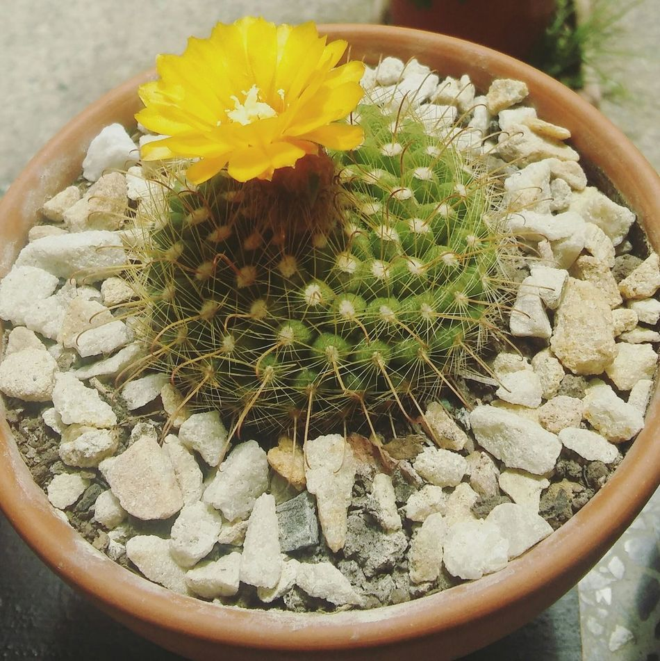 Flower High Angle View Yellow Freshness Day Beauty In Nature No People First Eyeem Photo Cactus Cactus Flower Rocks