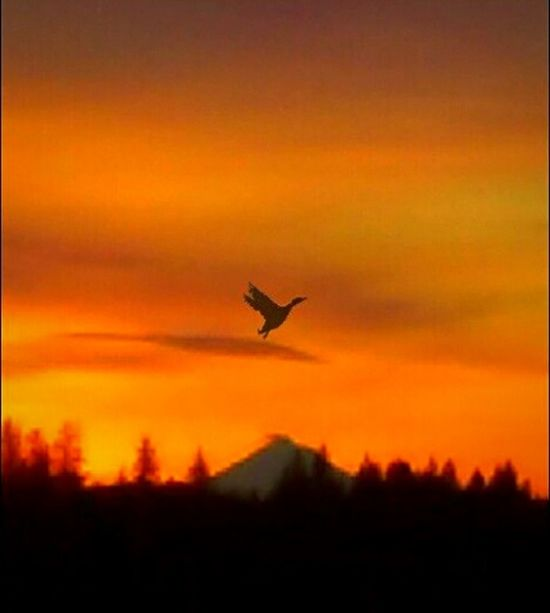 Flying Sunrise_Collection Good Morning! Mid-air Bird Outdoors Just Ducky  Quack Quack Oregon Duck Peach Sky EyeEm Gallery Orange Color Tadaa Community Getty Images Original Experiences Eyeem Market Scenics Illuminated Silhouette Streemzoofamily Dawn Of A New Day Cockadoodledo Silent Moment Country Scenery Morning Bliss The Secret Spaces Resist Art Is Everywhere