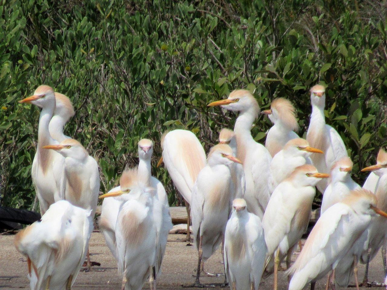 Cattle Egrets Baby Birds Close To Nature Furry Feathers Gulf Of Mexico Large Group Of Animals New Born Tropical Climate Premium Collection