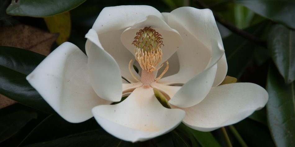 Beautiful stock photos of magnolia, Beauty In Nature, Close-Up, Day, Flower