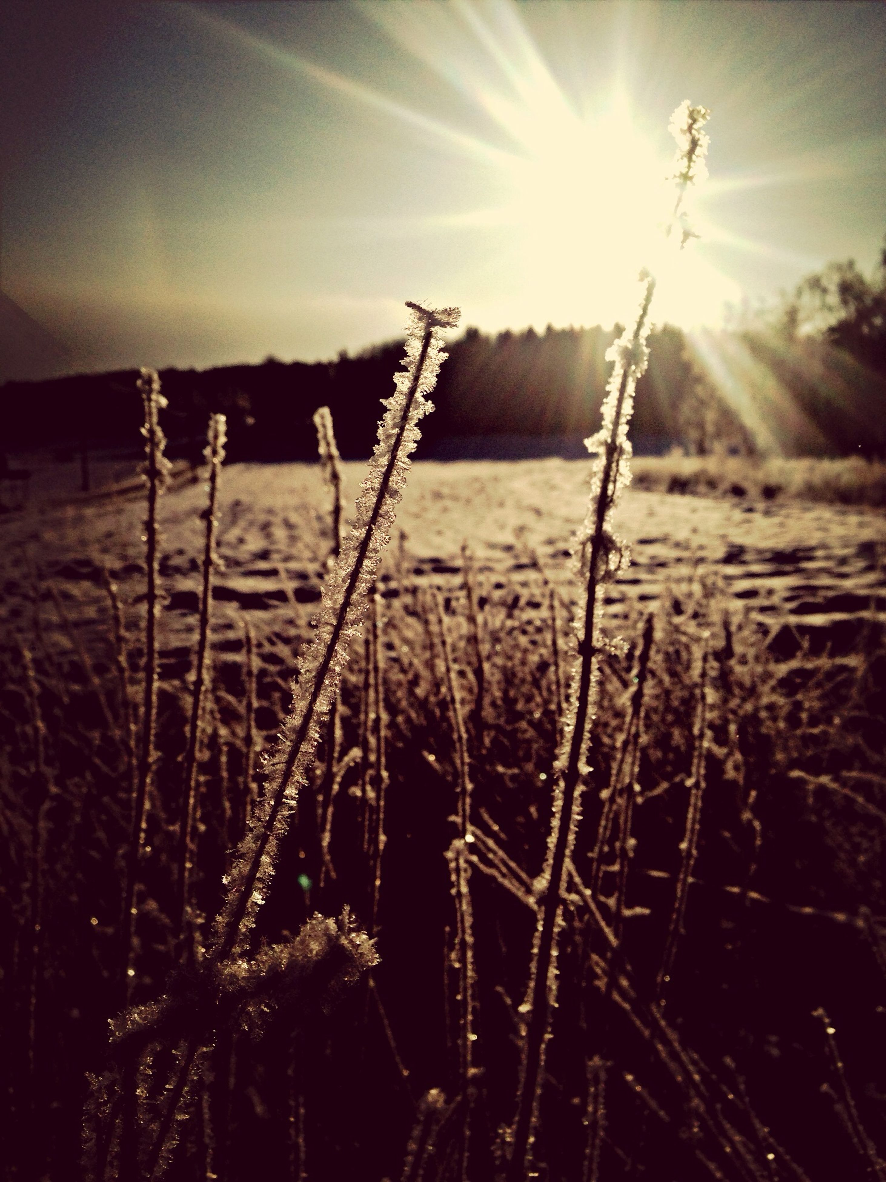 sun, growth, plant, lens flare, sunbeam, sunlight, grass, nature, beauty in nature, tranquility, stem, field, close-up, focus on foreground, growing, sky, sunset, tranquil scene, freshness, bright