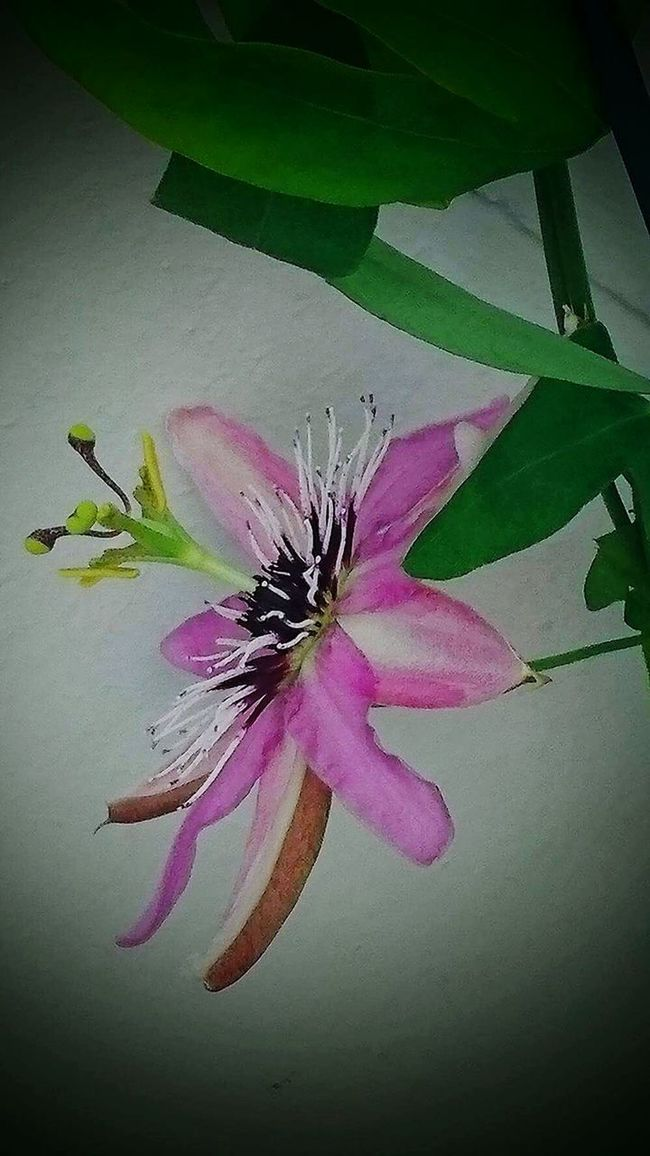 Lady bird passionflower Nature On Your Doorstep Flowers On My Balcony