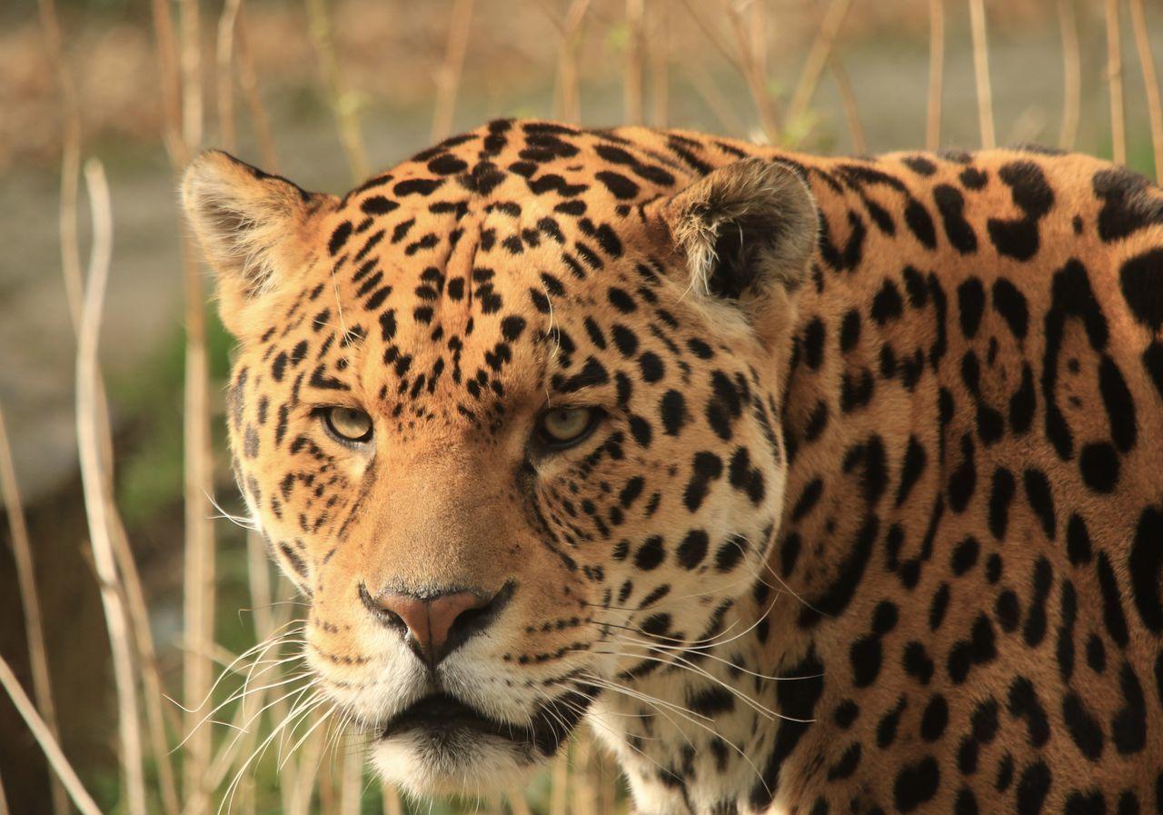 Beautiful stock photos of jaguar, Animal Markings, Animal Themes, Animal Wildlife, Animals In The Wild