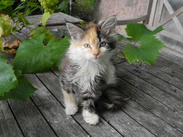 Fluffy Kitten in the Countryside of the Zealand Island in Denmark - Domestic Cat Domestic Animals Pets Animal Themes Cat One Animal Mammal Plant Looking At Camera Portrait Leaf Whisker Feline Wooden Alertness Front View Growth Day Footpath