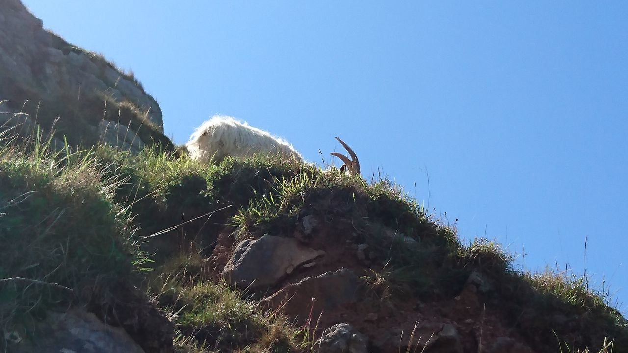 Beauty In Nature Clear Sky Close-up Crag Day Goat Growth Low Angle View Nature No People Outdoors Plant RAM Sky Tree