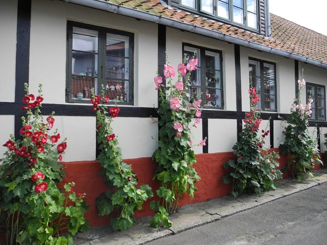 Pink and red hollyhocks against half timbered Architecturehouse on the island of Bornholm in Denmark - Building Exterior Built Structure Window Flower Growth Plant Potted Plant Residential Structure House Freshness Fragility Pink Color Day In Front Of Outside Facade Nature Hollyhocks Half-timbered House Bornholm Denmark