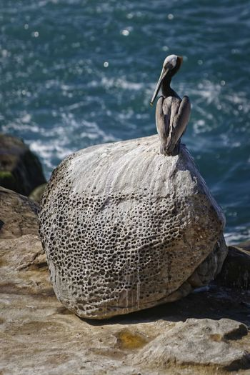 Perspectives On Nature Animal Wildlife One Animal Nature Water Animals In The Wild No People Sea Day Bird Outdoors Animal Themes Pelican Pelican Bird Pelican Standing On Rock wave Oceanside Sky