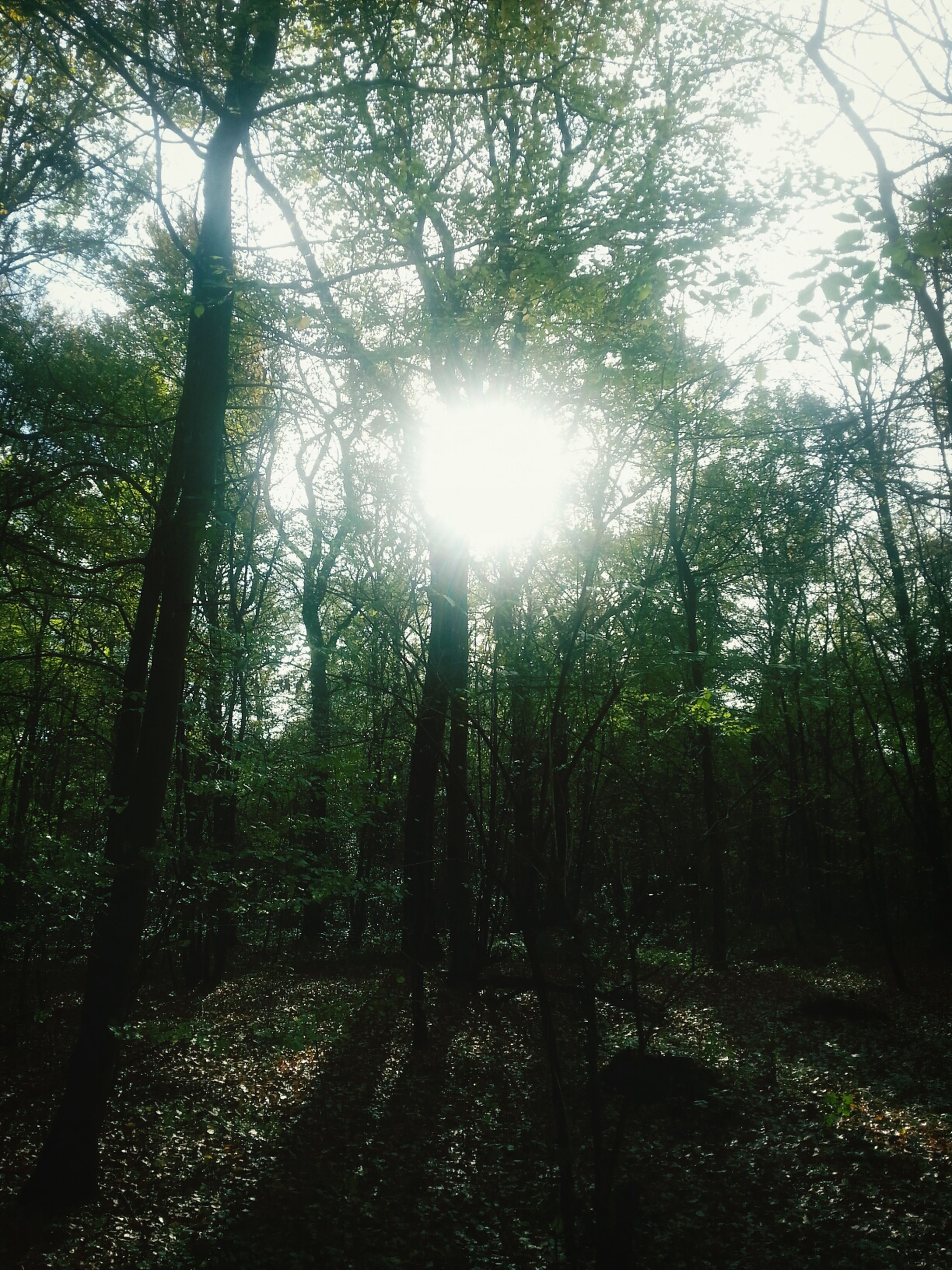 tree, sun, tranquility, sunlight, sunbeam, growth, tranquil scene, nature, forest, beauty in nature, lens flare, tree trunk, scenics, branch, woodland, sunny, back lit, non-urban scene, day, landscape