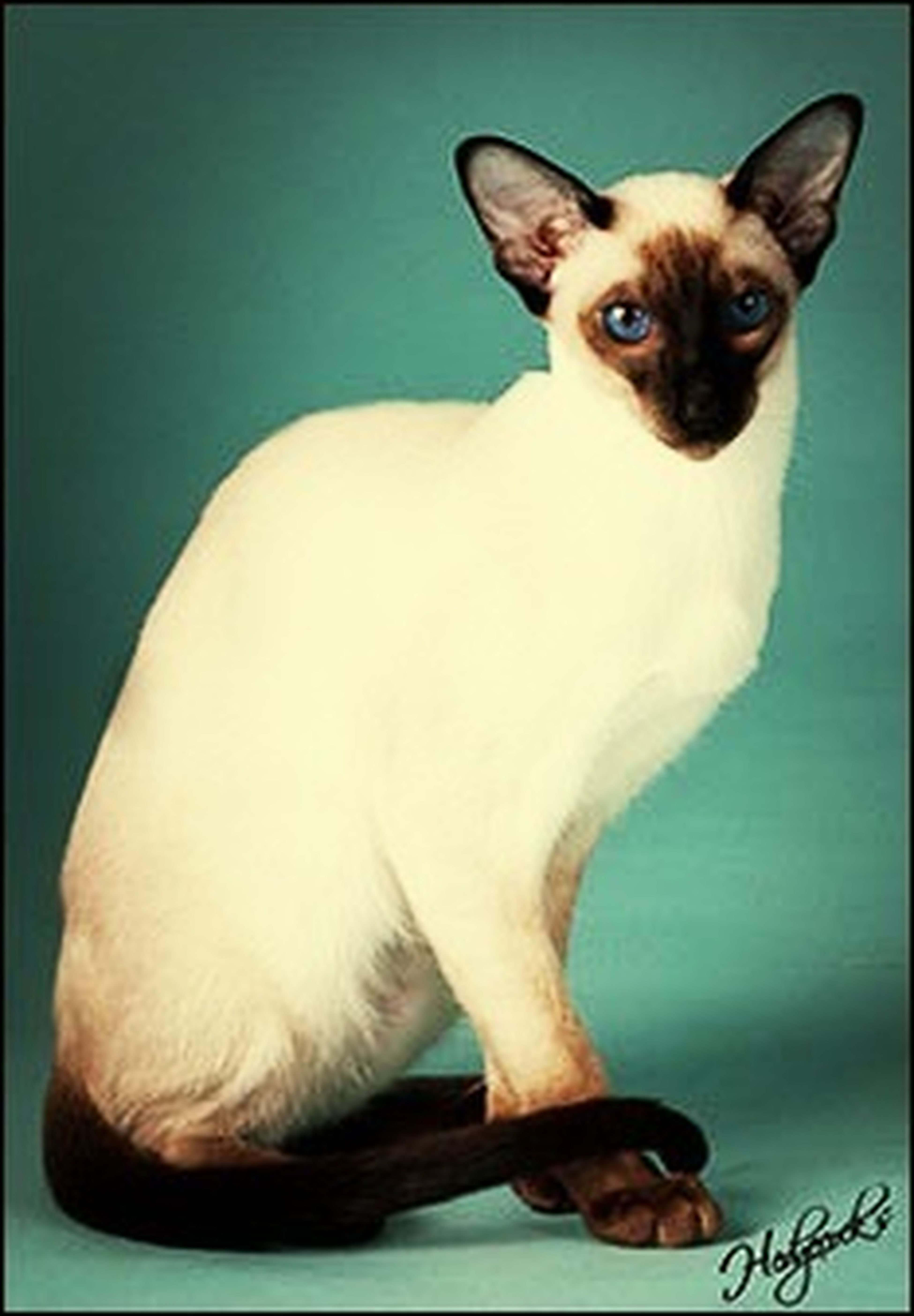 Cats I Want One Of These So Bad Siamese Show Cat Show Cats