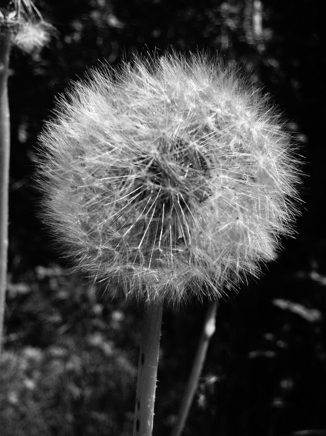 Dandelion EyeEm Best Shots EyeEm Best Shots - Black + White Blackandwhite Nature Gräsö In The Forest Ute I Landet