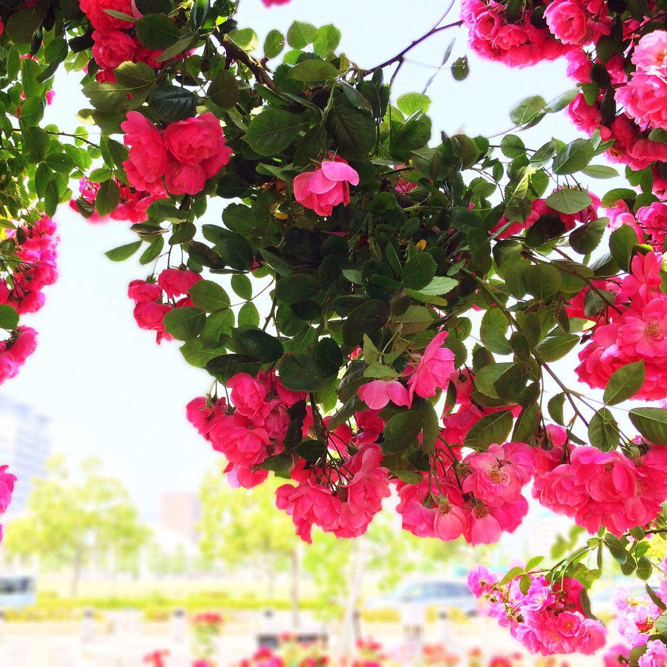 そういえば、薔薇のアーチが盛りでしたよ。 Flower Roses