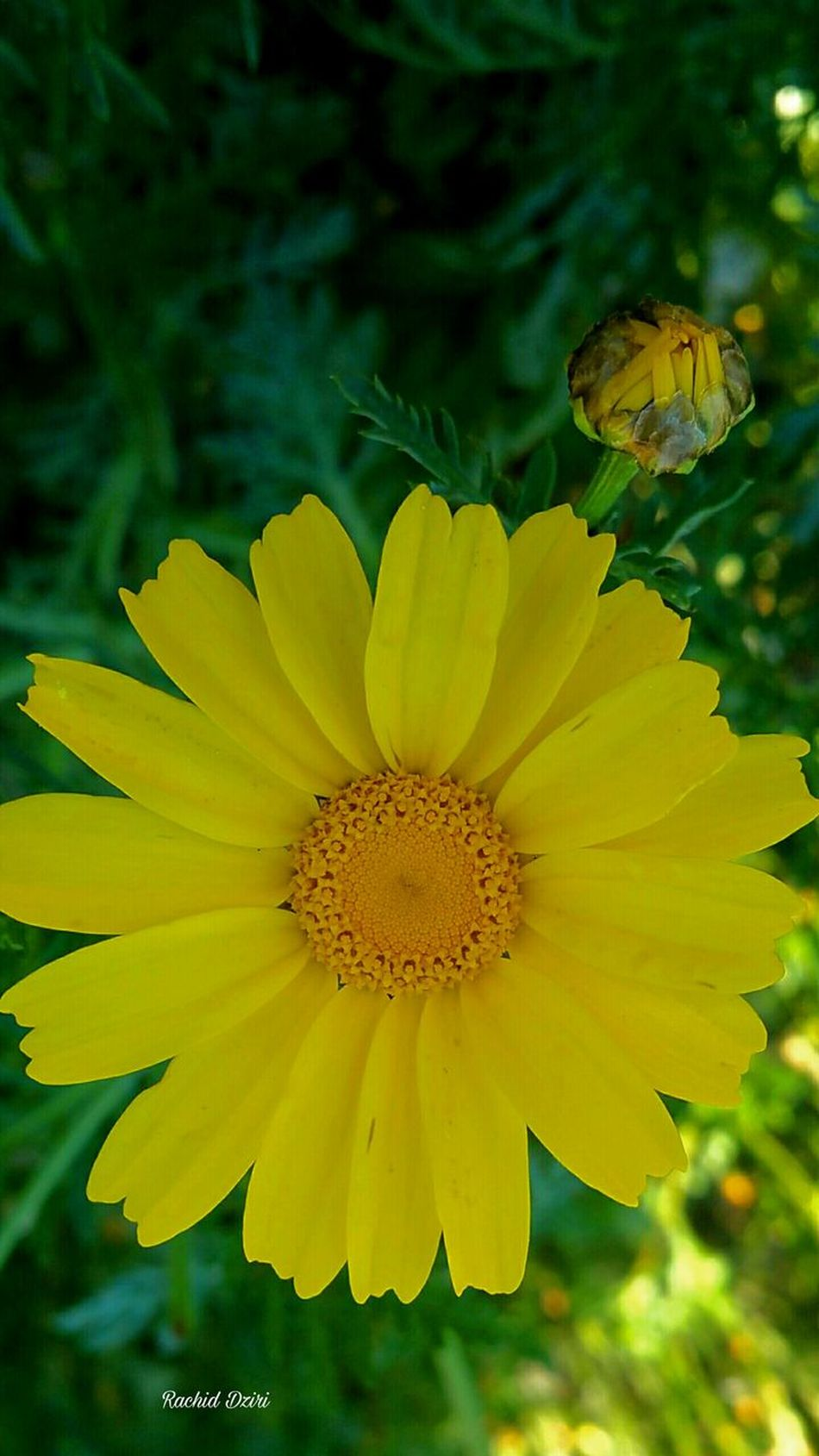 Flower Beauty In Nature Yellow Nature Plant Flower Head Freshness Fragility Outdoors No People Day Grass Beauty In Nature Oujda @morocco Oujda City, Morocco Morocco 🇲🇦