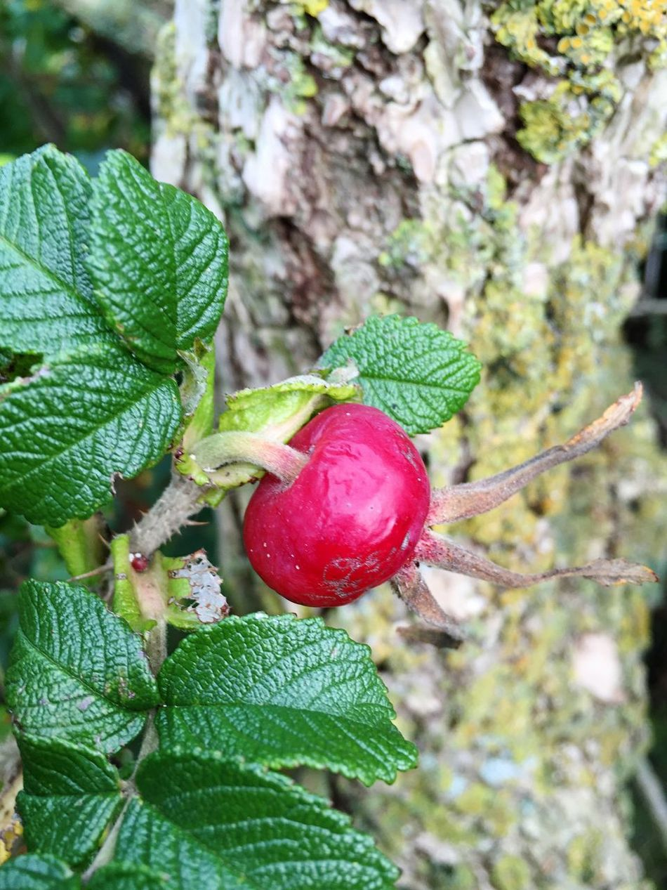 Flowers Nature Bush Roses Wild Flowers Wild Roses Rosehips Rosehip Leaves Leaf Beach Rose Nature_collection Red Fruit Rosé Rose🌹 Beach Rose Leafs