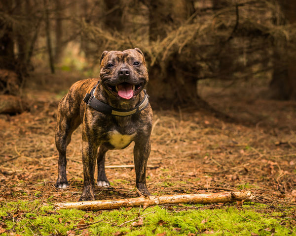My boys Animal Themes Brindle Day Dog Domestic Animals Looking At Camera Mammal Mansbestfriend Nature No People One Animal Outdoors Pets Portrait Staffordshire Bull Terrier Staffy