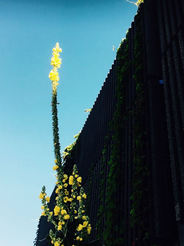 Yellow Flower Blue Sky Black Wall EyeEm Nature Lover Eye4photography  EyeEm Flower