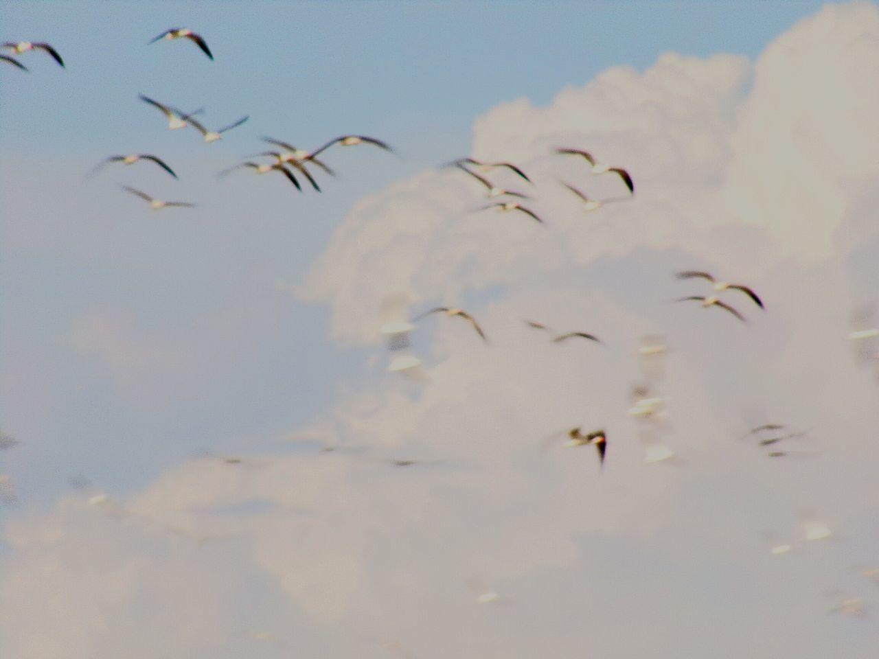 Cloud's&Bird's Flying Flock Of Birds Animals In The Wild Animal Wildlife Sky Spread Wings Outdoors Eyeemnaturelover Full Frame EyeEmBestShot's Loverofnature Peaceful And Serene Birds Of EyeEm
