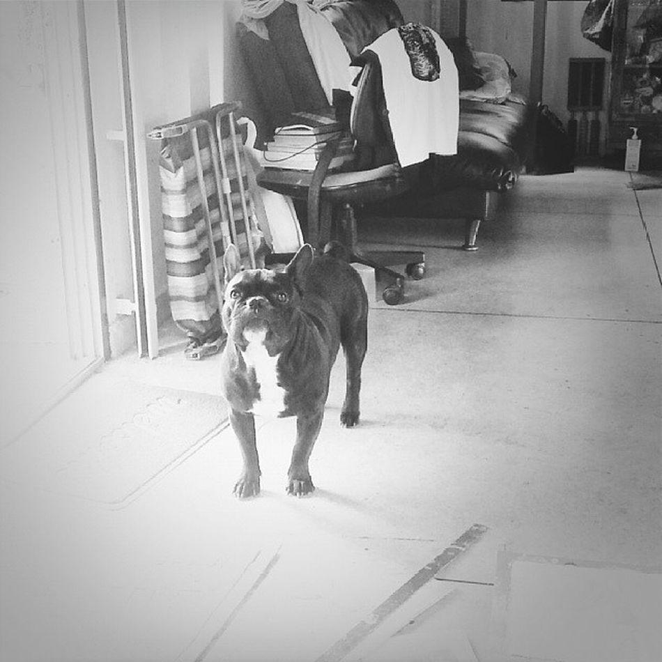 @lumsumboy Fernchbulldog Dog