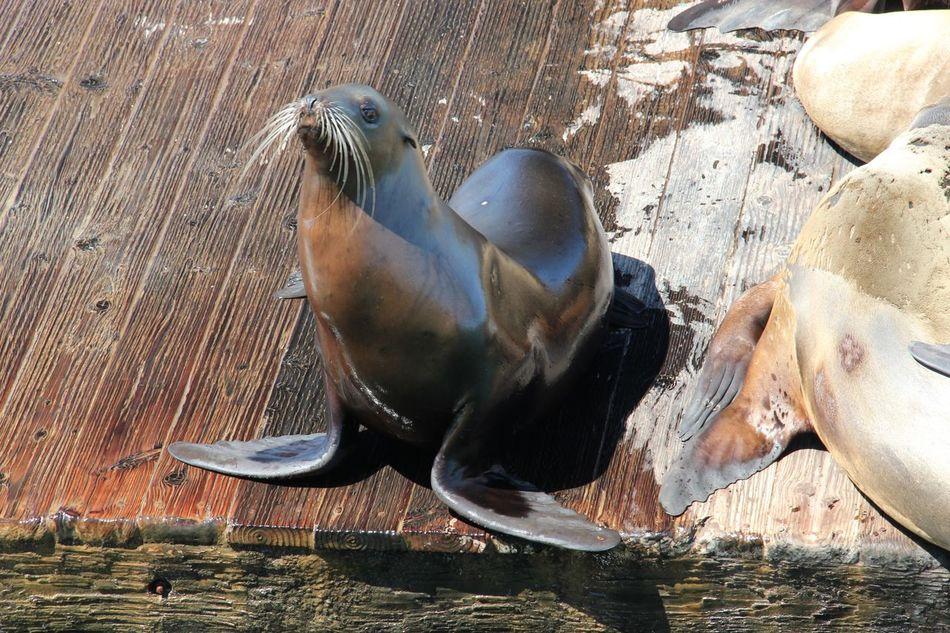 Beautiful stock photos of seal, Animal Themes, Animal Wildlife, Animals In The Wild, Aquatic Mammal