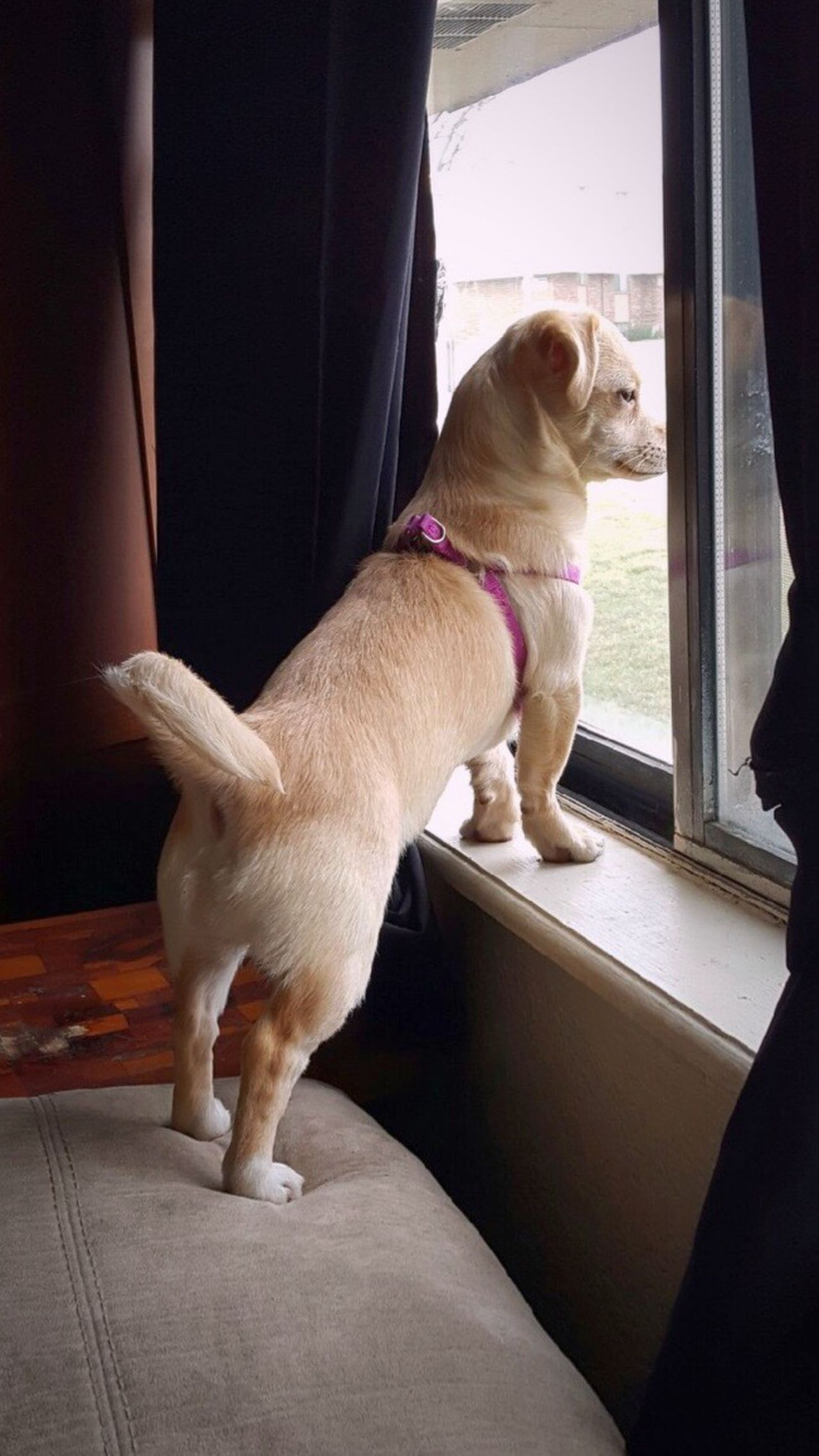 Pets Dog Domestic Animals Watch Dog Indoors  One Animal LuLu Good Dog