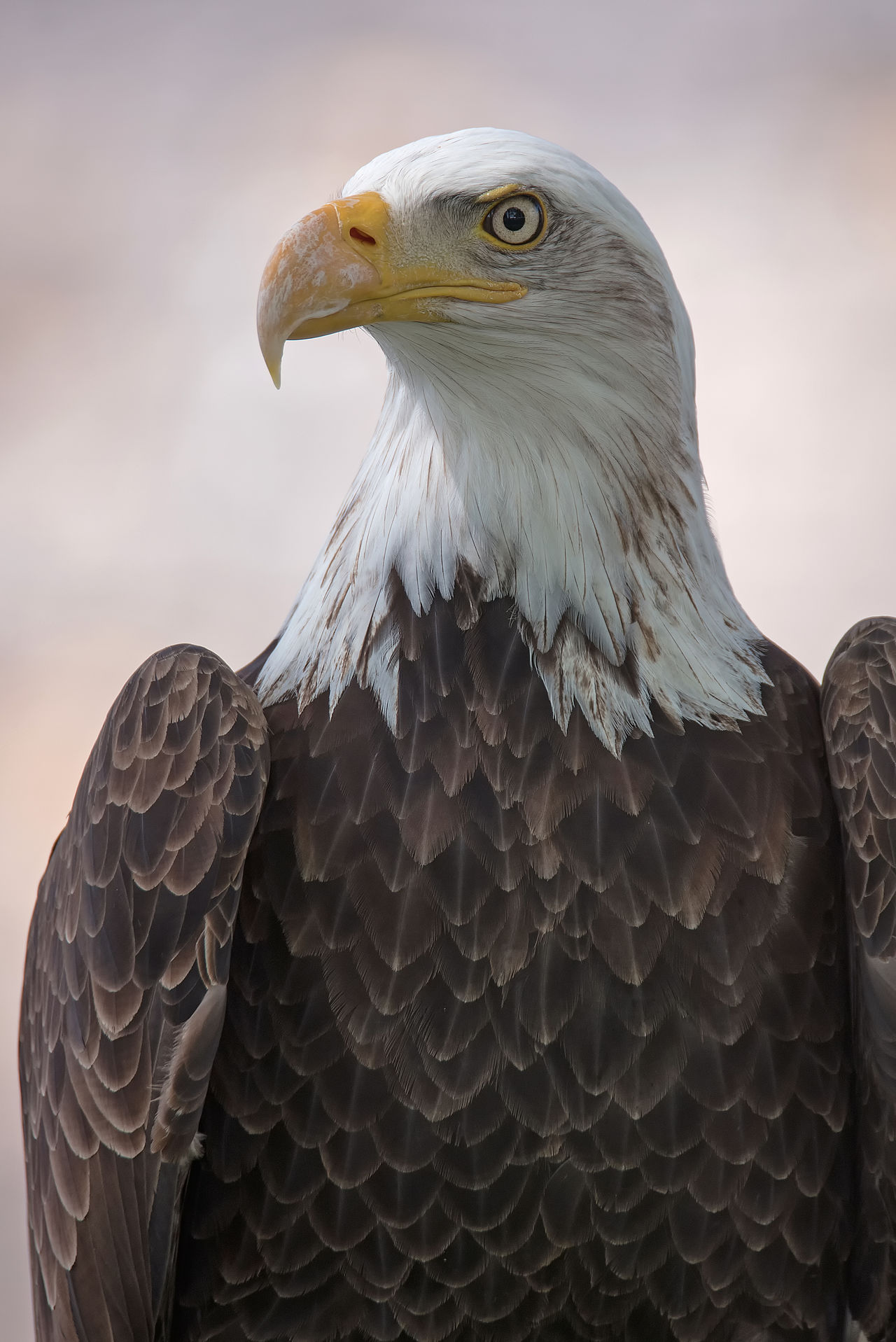 Beautiful stock photos of adler, Animal Head, Beak, Bird, Close-Up