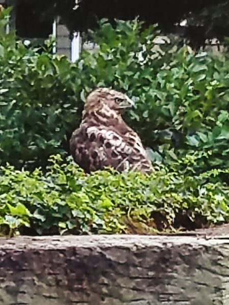Red Tailed Hawk Hawk If Looks Could Kill Hawk Eye Wildlife Bigbird