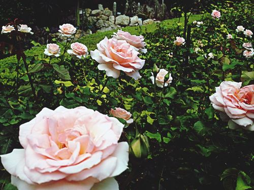 Taking Photos Nature Flowers Roses