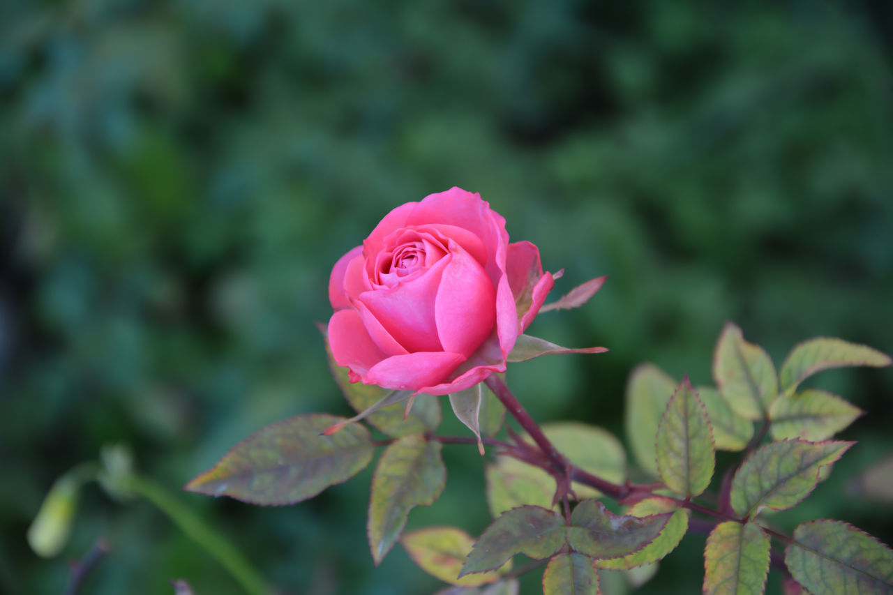Beauty In Nature Close-up Day Flower Flower Head Fragility Freshness Leaf Nature Outdoors Petal Pink Color Rose - Flower