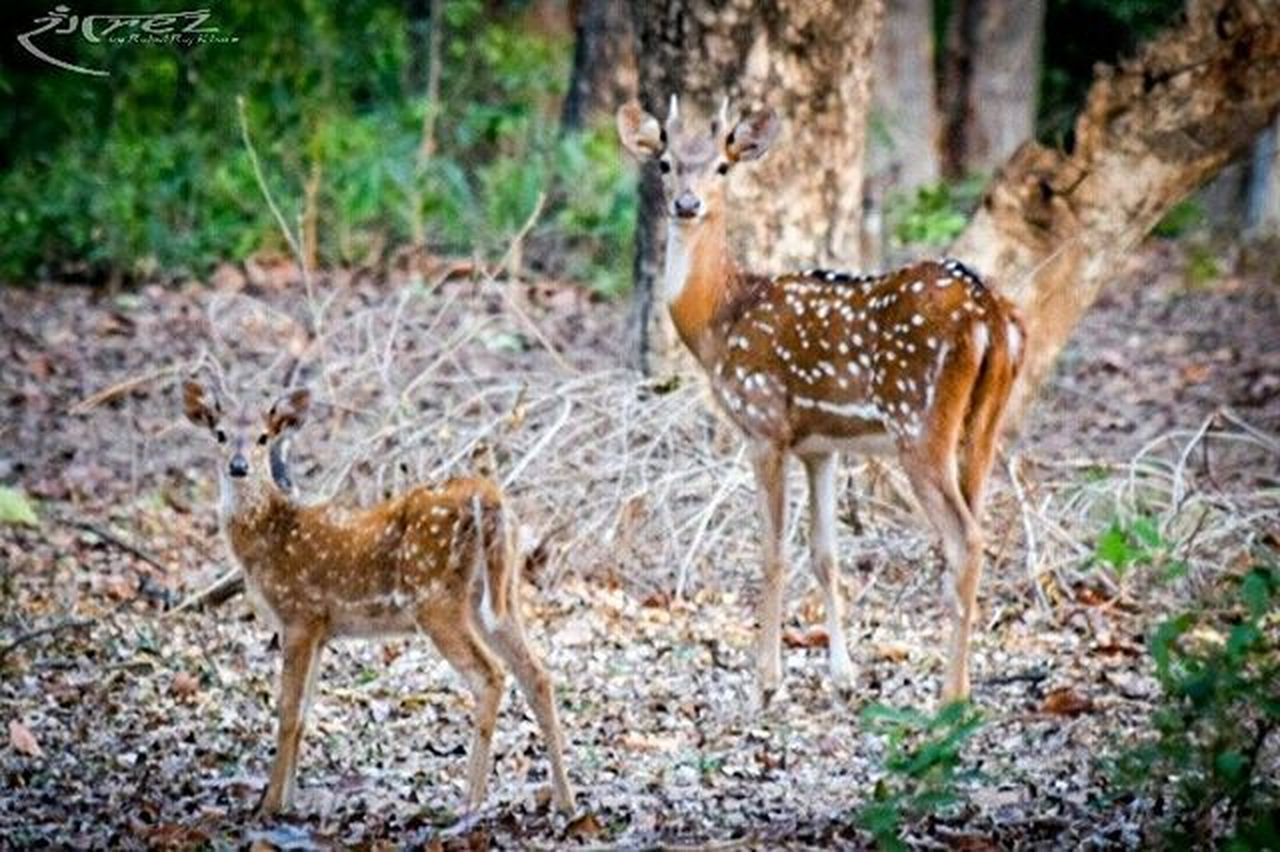 As mother as baby.😁 Rangrezphotography Nikon5300d Nikonphotography Iamnikon Wildlifephotography Spotdeers Mpforests Naturelovers Jungle InstaWild Instaanimal