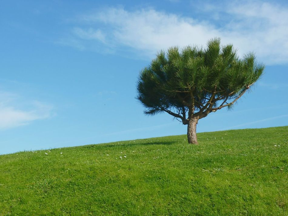 Tree Growth Sky Nature Plant Field Blue Green Color Grass Single Tree Outdoors No People Clear Sky Scenics Beauty In Nature Landscape Pine Tree Galicia One Tree One Tree Hill One Tree Alone Small Tree