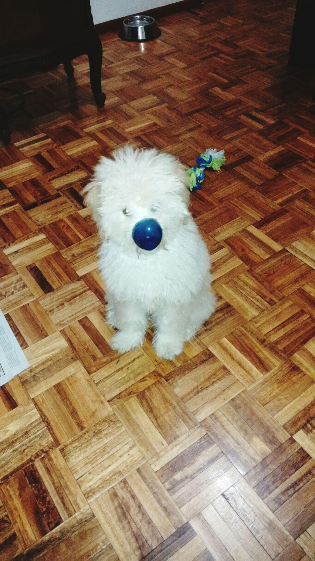 Coco Clown Payaso Hermoso Lovemydog Caniche