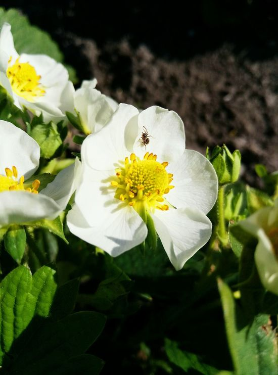 Flower Petal Fragility Freshness Nature Flower Head Plant Beauty In Nature Close-up Growth No People Uncultivated Leaf Day Outdoors Insect One Animal Animal Themes Strawberry Strawberry Flower 🍓strawberry 😍😌😊
